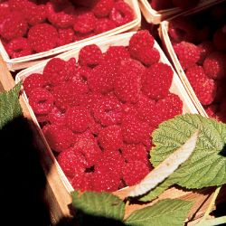Primocane Red Raspberry Plant Collection