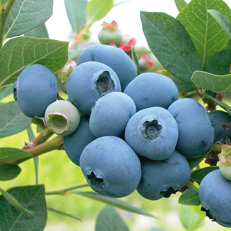 how to grow a blueberry bush from a blueberry