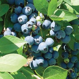 Photo of Sharpblue Blueberry
