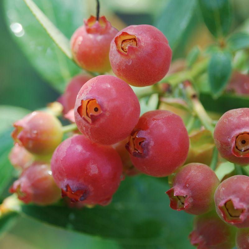 Pink lemonade blueberry blueberry plants stark bros mightylinksfo