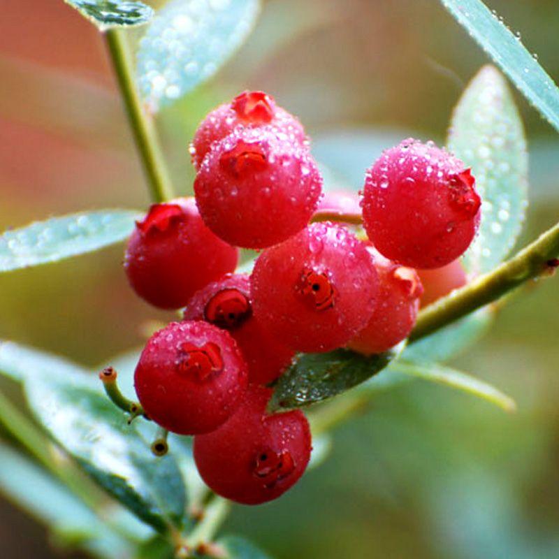Pink Lemonade Blueberry Blueberry Plants Stark Bro S