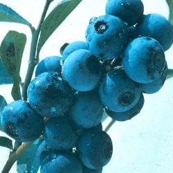 O'Neal Blueberry