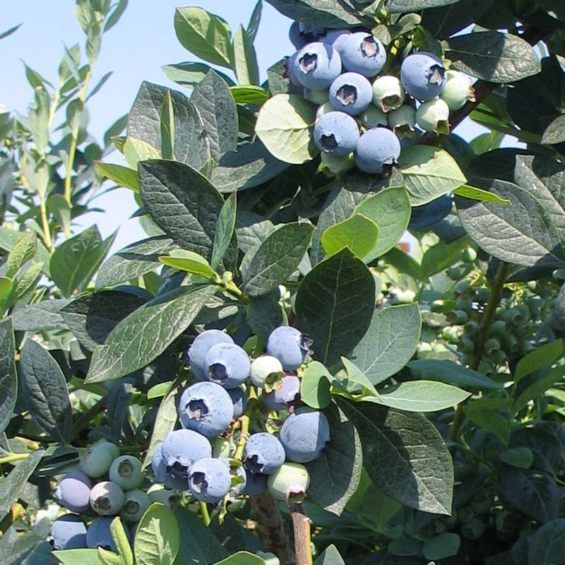 Misty Blueberry Plants