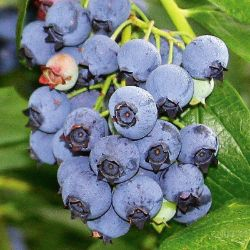 Photo of Jersey Blueberry