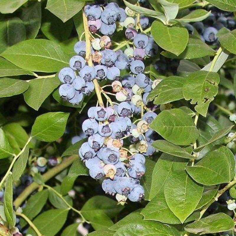 Jersey Blueberry Blueberry Plants Stark Bro S