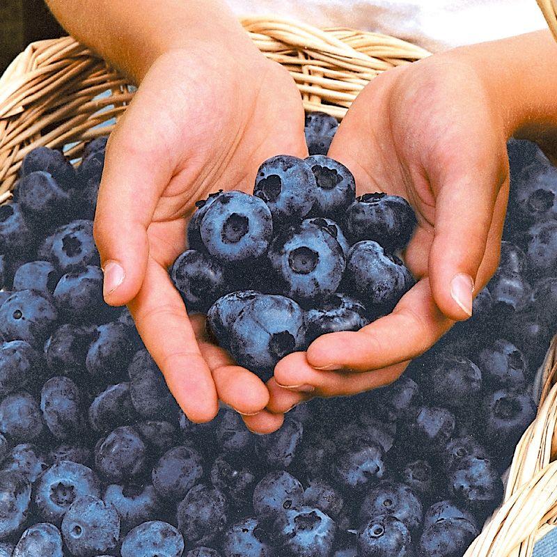 Kết quả hình ảnh cho blueberry plants hardy