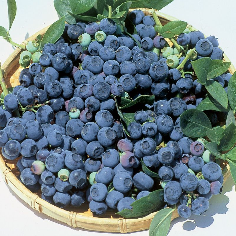 Blueray Blueberry Blueberry Plants Stark Bro S