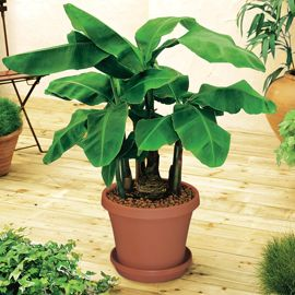 Dwarf Cavendish Banana Potted Kit