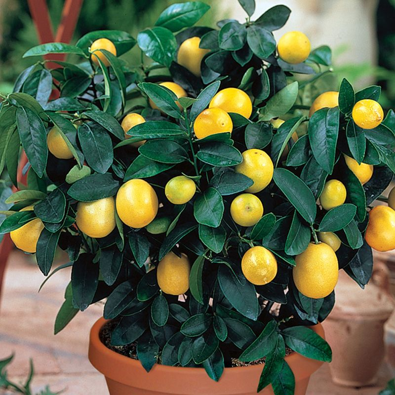 JESSIE: Mature lemon tree for sale