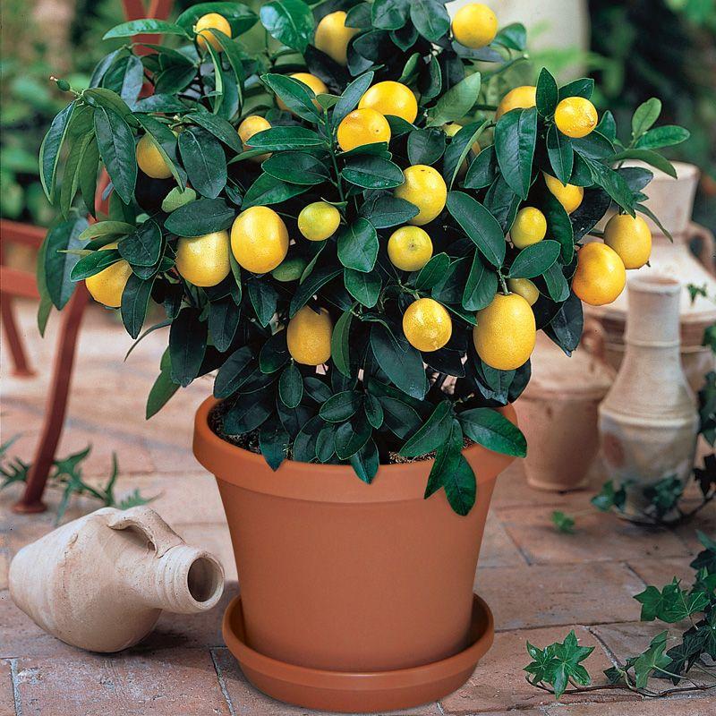 Meyer Lemon Potted Kit Citrus Trees Stark Bro S