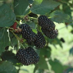 Photo of Prime-Ark® Freedom Primocane Blackberry
