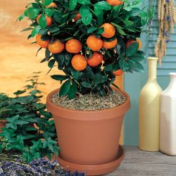 Valencia Orange Potted Kit