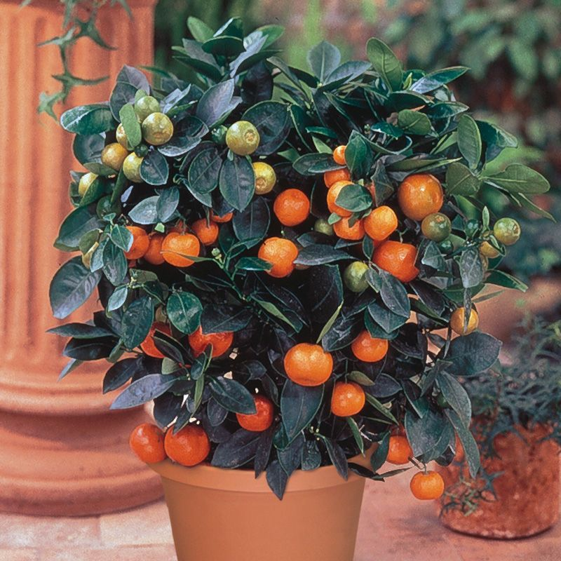 Dwarf Citrus Trees from Stark Bro's - Dwarf Citrus Trees For