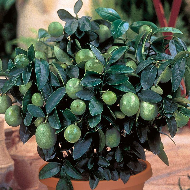 Key Lime Citrus Trees Stark Bro S