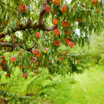 Cold-Hardy Peach Trees