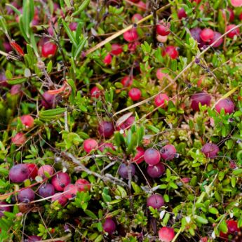 cranberry plants from stark bro s cranberry plants for sale