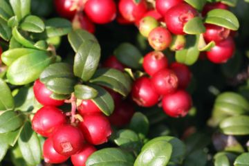 Lingonberry Plants