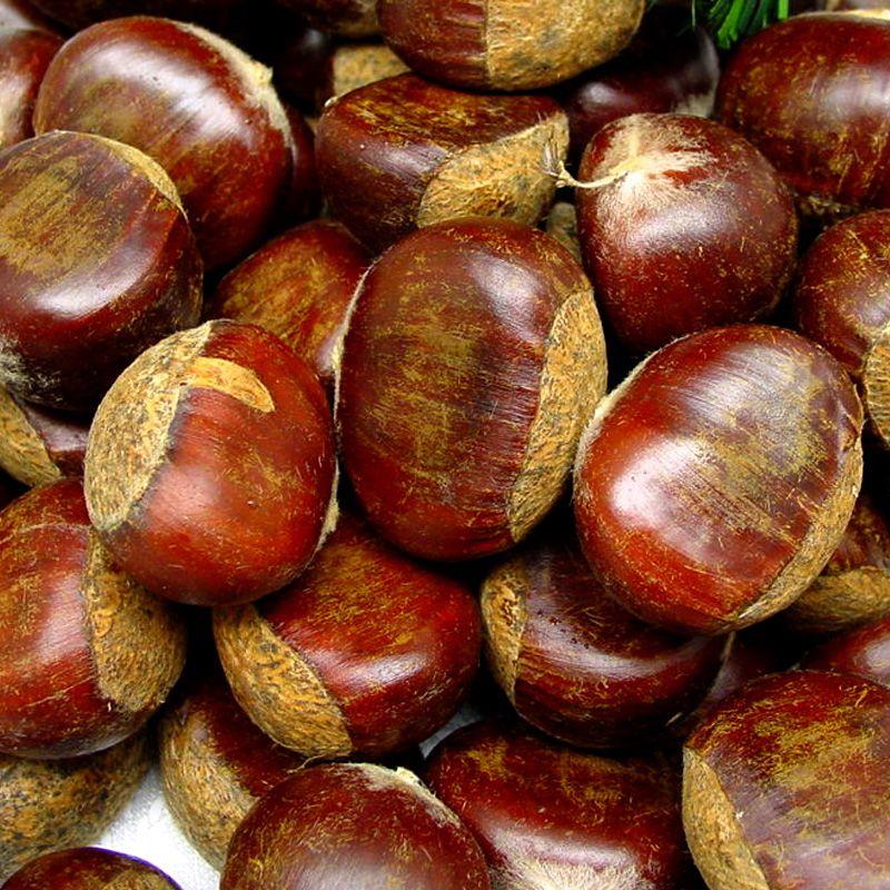 Colossal chestnut chestnut trees stark bro 39 s for The chestnut