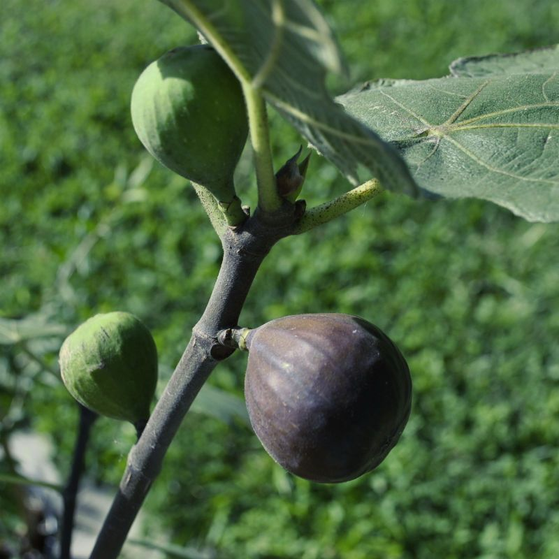 chicago hardy fig  fig trees  stark bro's, Beautiful flower