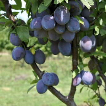 European Plum Trees