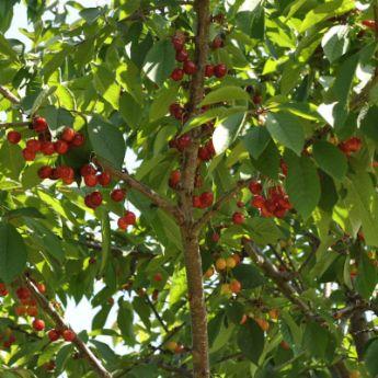 Sweet cherry trees from stark bro 39 s sweet cherry trees for Cherry trees for sale