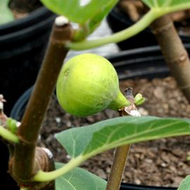 LSU Gold Fig