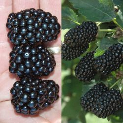 Prime-Ark® Blackberry Plant Collection