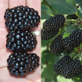Photo of Prime-Ark® Blackberry Plant Collection