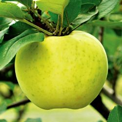 Photo of Stark® Lodi Apple