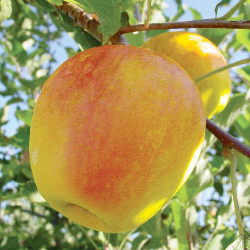 Candycrisp apple apple trees stark bro 39 s for Fruit trees