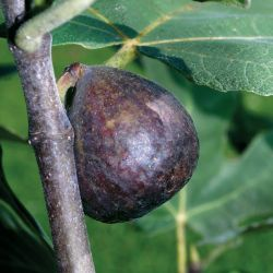 Photo of Brown Turkey Fig