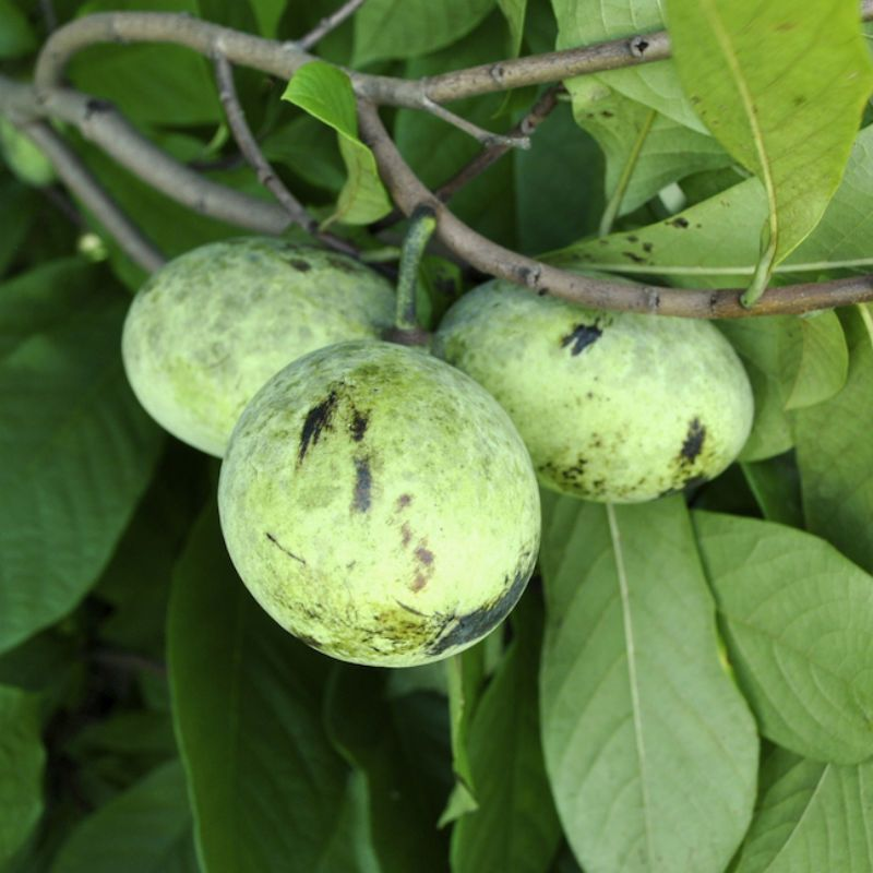 Pawpaw Trees From Stark Bro S Paw For