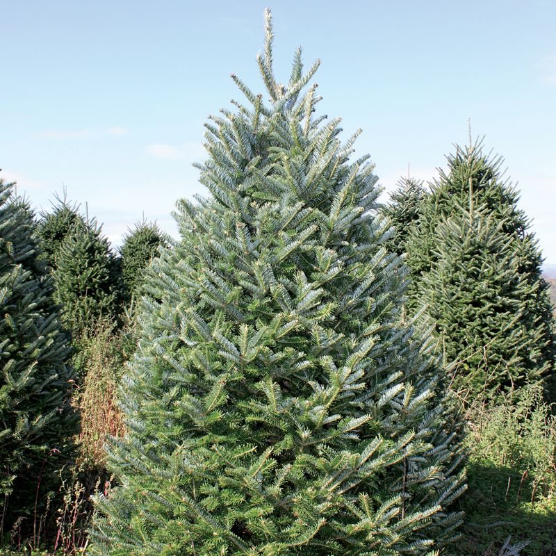 Fraser Fir Christmas Trees: Gift Certificates & Seasonal