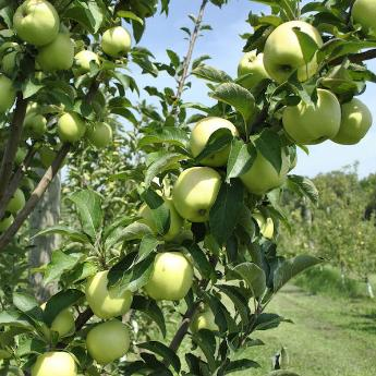 Spur Apple Trees