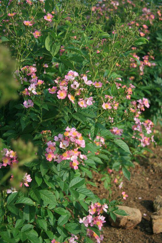 Look A Likes 174 Phloxy Baby Rose Roses Stark Bro S
