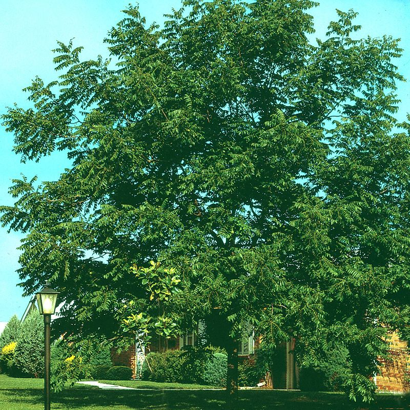 Mature Walnut Trees For Sale