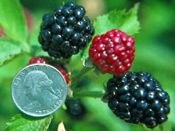 Arapaho Erect Thornless Blackberry