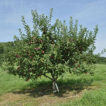 Semi-Dwarf Apple Trees