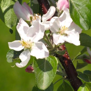 Self-Pollinating Apple Trees