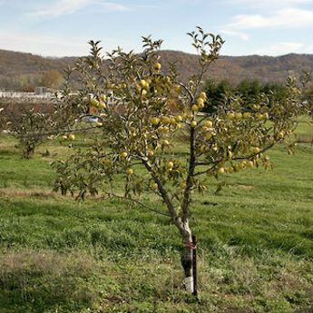 Dwarf Apple Trees
