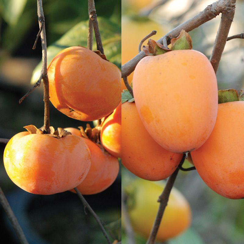 Double play asian persimmon tree collection stark bro 39 s for Fruit trees for sale