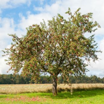 Standard Apple Trees