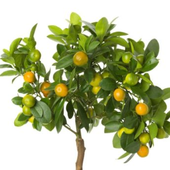 Citrus trees from stark bro 39 s citrus trees for sale for Fruit trees for sale