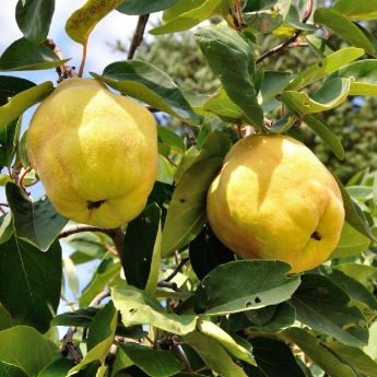 Quince Trees