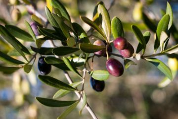 This Topic Is Broken Into A Series Of Articles That Focus On The Key Components Planting And Growing Olive Trees Includes Getting Started