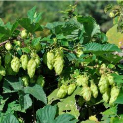 Photo of Cascade Hops