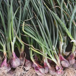 Dutch Red Picasso Shallots