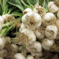 Photo of Italian Late Garlic