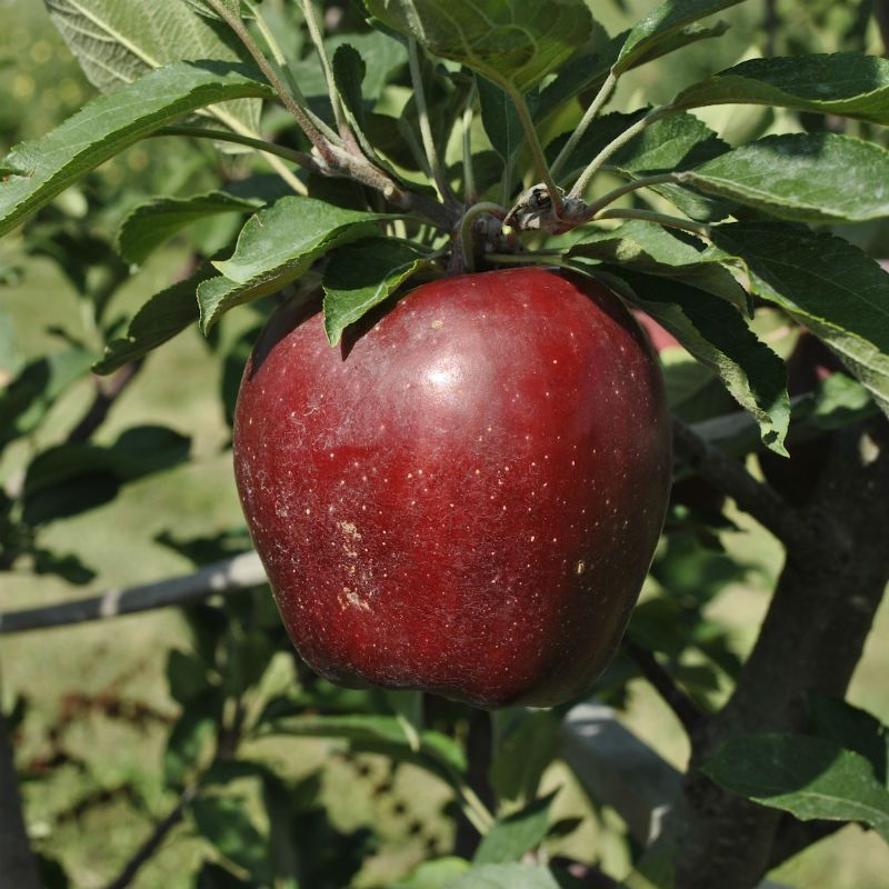 starkrimson® red delicious apple  apple trees  stark bro's, Beautiful flower