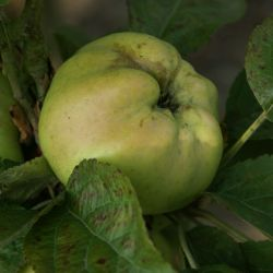 Calville Blanc Apple